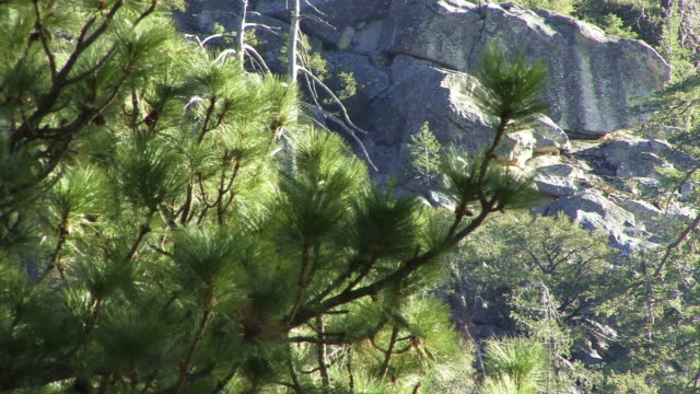 close on a sunlit pine branch in front of a california rock face. - rock face stock videos & royalty-free footage