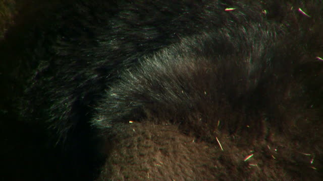 stockvideo's en b-roll-footage met close on an exotic animal's fur. - dierenhaar