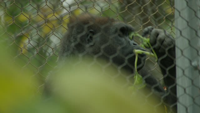 close on gorilla in zoo cage eating lettuce - zoo stock videos & royalty-free footage