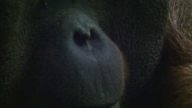 Close on the cool face of an Orangutan.