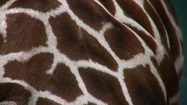 close on the fur of a moving giraffe. - animal hair stock videos & royalty-free footage