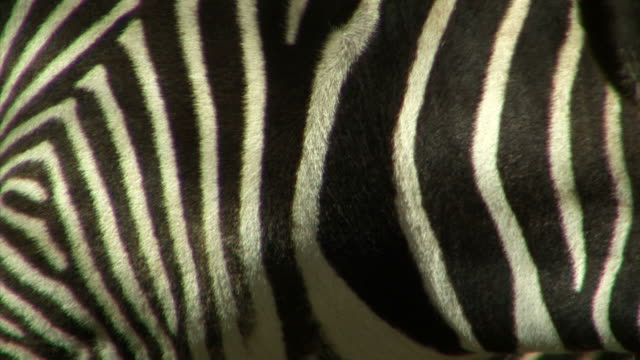 close on the fur of a moving zebra. - animal hair stock videos & royalty-free footage