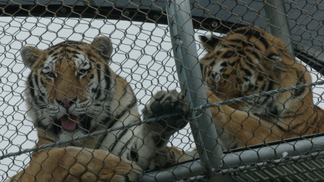 close on tiger in cage at zoo - tier in gefangenschaft stock-videos und b-roll-filmmaterial