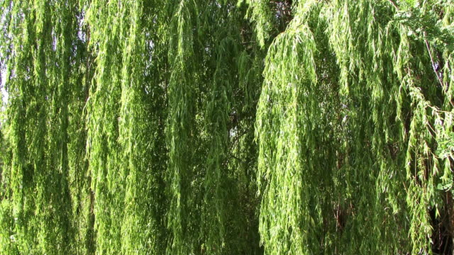close on weeping willow tree branches. - trauerweide stock-videos und b-roll-filmmaterial