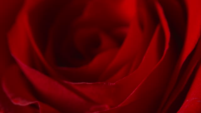 vidéos et rushes de close pull focus of a beautiful red rose - fleur flore