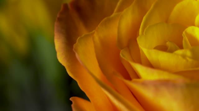 close pull focus shot on a beautiful orange rose. - orange colour stock videos & royalty-free footage