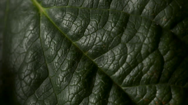 close pull focus shot on a dark green leaf. - macro stock videos and b-roll footage
