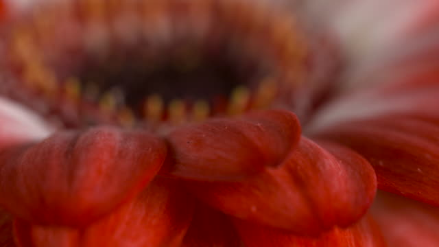 Close pull focus shot on the head of a gerbera flower.