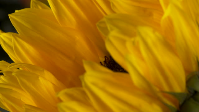 Close pull focus shot on the petals of yellow sunflower.