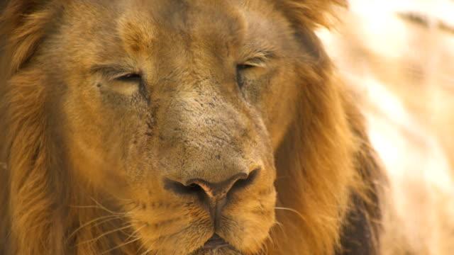 vidéos et rushes de close shot of a big male lion that he is sleepy - trapped