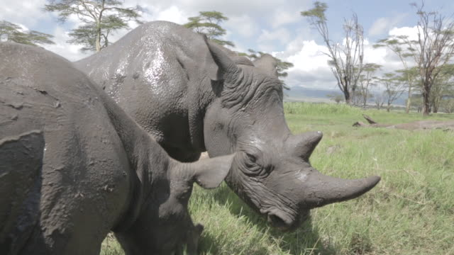 close shot of a black rhinoceros (diceros bicornis) and her calf. - rhinoceros stock videos & royalty-free footage