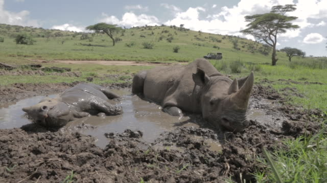 Close shot of a Black rhinoceros (Diceros bicornis) and her calf, wallowing in a mud pool.