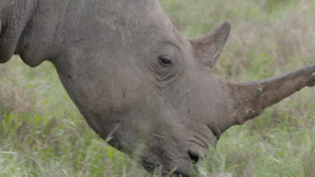 close shot of a black rhinoceros (diceros bicornis) as it slowly wanders across the grasslands of lewa downs, kenya. - rhinoceros stock videos & royalty-free footage