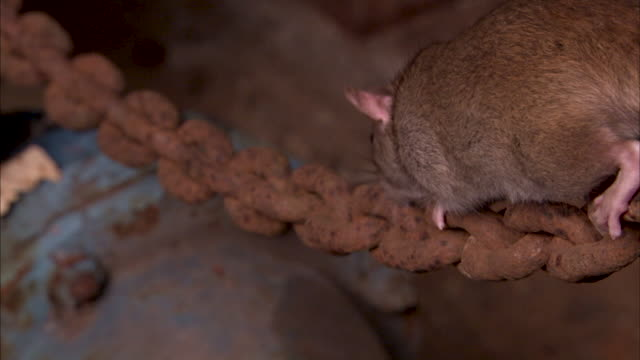 close shot of a brown rat on a rusted chain. - chain点の映像素材/bロール