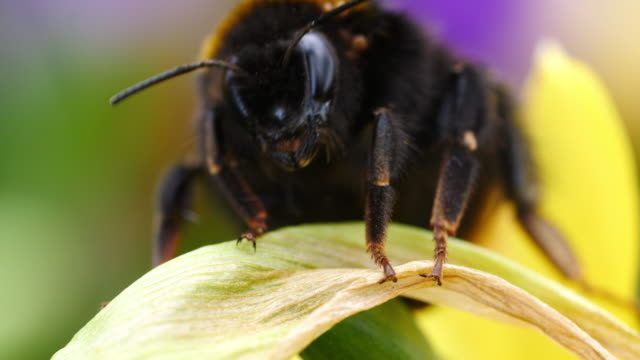 Close shot of a bumblebee clambering over freesias.