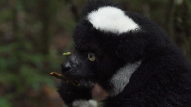 stockvideo's en b-roll-footage met close shot of a critically endangered indri clinging to a tree - ernstig bedreigde soorten