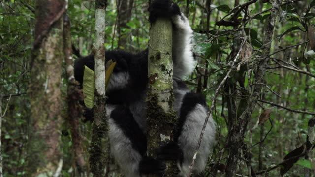 close shot of a critically endangered indri clinging to a tree. - インドリ点の映像素材/bロール