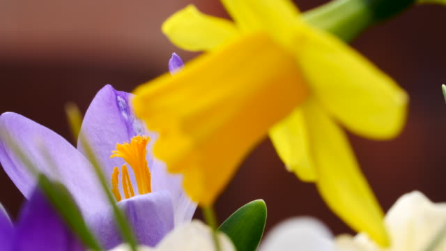 close shot of a daffodil and a freesia. - 40 seconds or greater stock videos & royalty-free footage