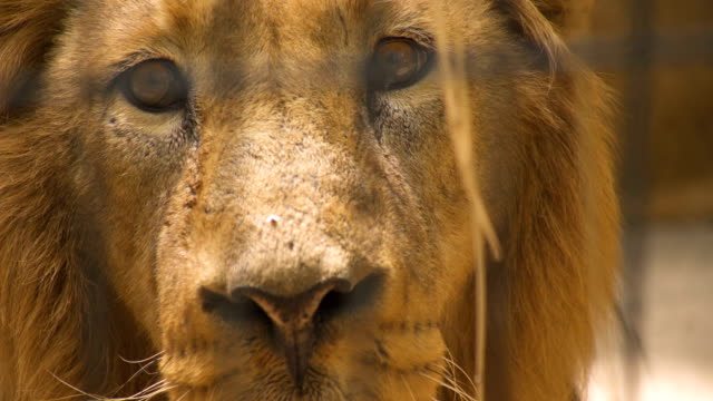 close shot of a defiant big male lion - tier in gefangenschaft stock-videos und b-roll-filmmaterial