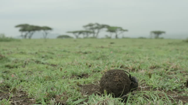 Close shot of a dung beetle rolling a ball of dung.