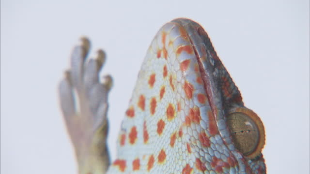 Close shot of a gecko adhering to a pane of glass.