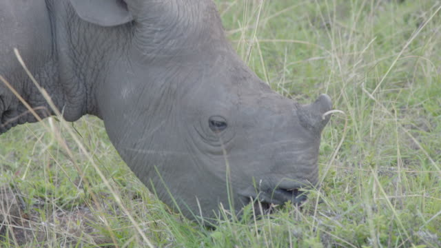 Close shot of a juvenile Black rhinoceros (Diceros bicornis) eating the leaves from a small bush.