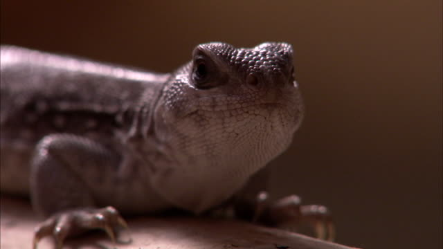 Close shot of a lizard resting on a pipe.