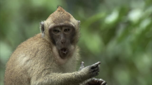 close shot of a long tailed macaque eating a piece of fruit. - primate stock videos & royalty-free footage