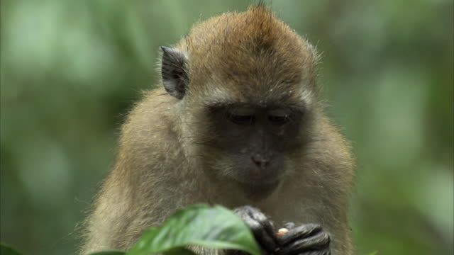 Close shot of a Long tailed macaque eating a piece of fruit.