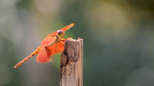vídeos de stock, filmes e b-roll de close shot of a orange dragonfly sitting  over a dry bamboo pole. - 30 segundos ou mais