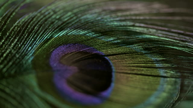 Close shot of a peacock tail feather being turned.
