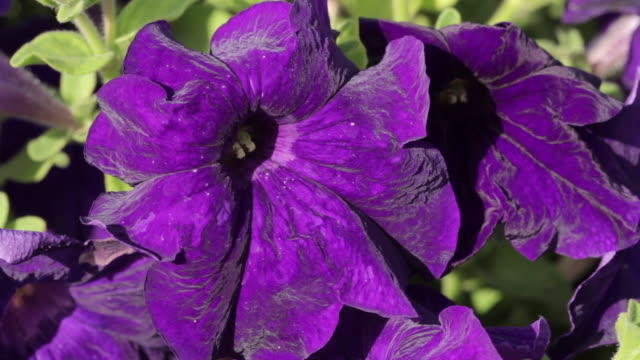 close shot of a purple flower. - purple stock videos & royalty-free footage