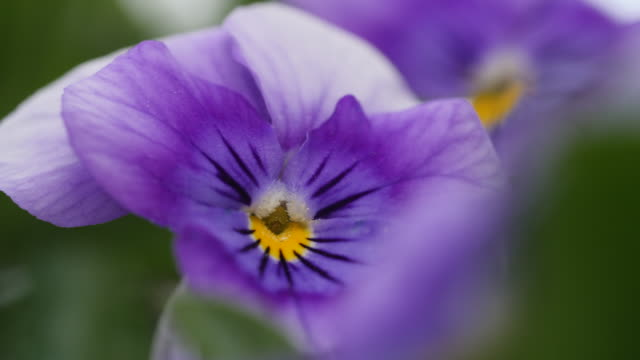 close shot of a purple viola flower. - pollen stock videos & royalty-free footage