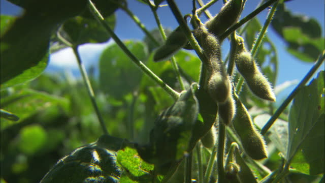 close shot of a soy plant gently swaying in a breeze.  - bean stock videos & royalty-free footage
