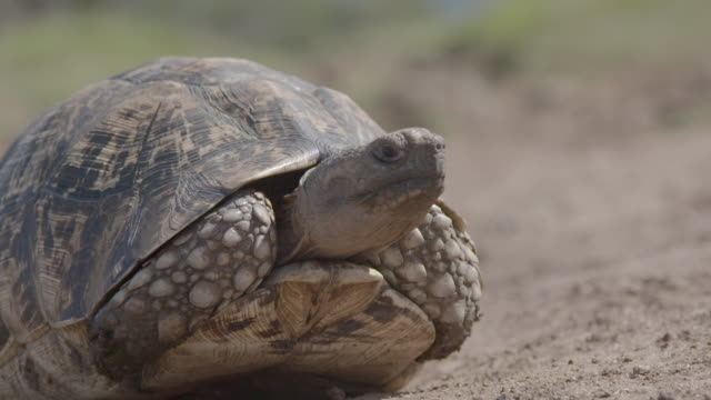 close shot of a tortoise slowly emerging from it's shell and wandering off. - animal shell stock videos & royalty-free footage