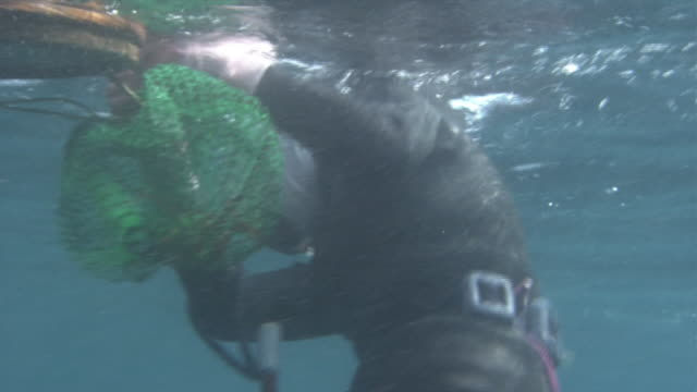 vídeos de stock e filmes b-roll de close shot of an ama diver shoving a japanese spiny lobster in a fishing net underwater, tying the net to a floating basket floating on water. - organismo aquático