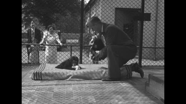 close shot of man holding baby gorilla / man places baby gorilla next to chimpanzee on mattress in cage / close shot of chimpanzee bobbing back and... - milk stock videos & royalty-free footage