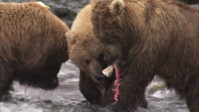 close shot of mother and cubs squabbling over fish - group of animals stock videos & royalty-free footage
