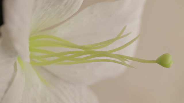 Close shot of the centre of a white flower.