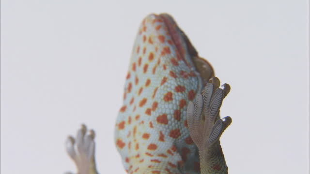 Close shot of the underside of a gecko, adhered to a pane of glass.