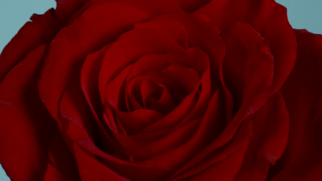 close shot on a beautiful red rose. - valentine's day stock videos & royalty-free footage