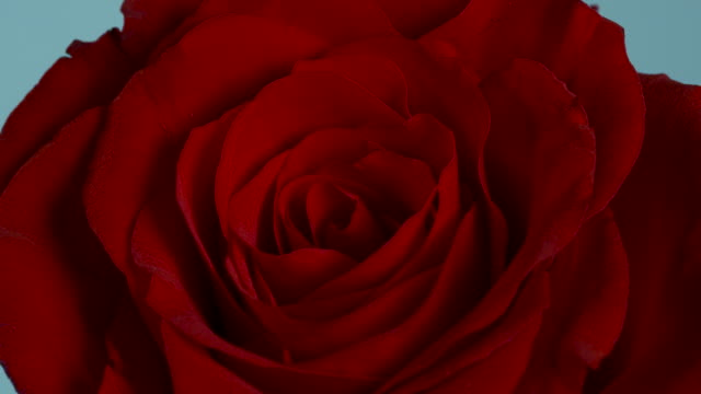 Close shot on a beautiful red rose.