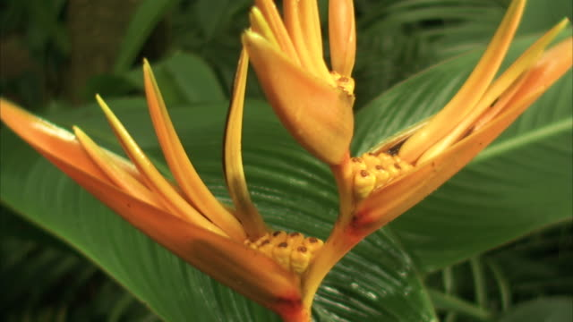 close shot on a bird of paradise plant swaying in a breeze. - exoticism stock videos & royalty-free footage