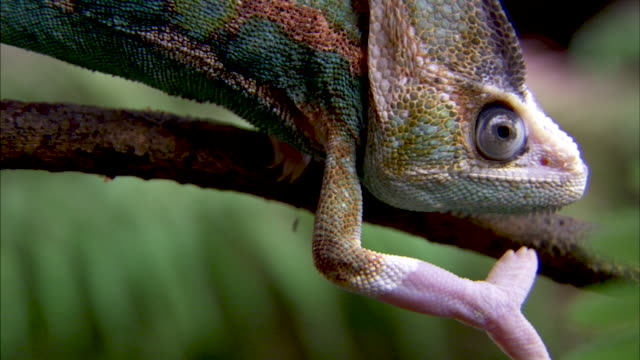 close shot on a colorful chameleon climbing on a branch. - reptile stock videos & royalty-free footage