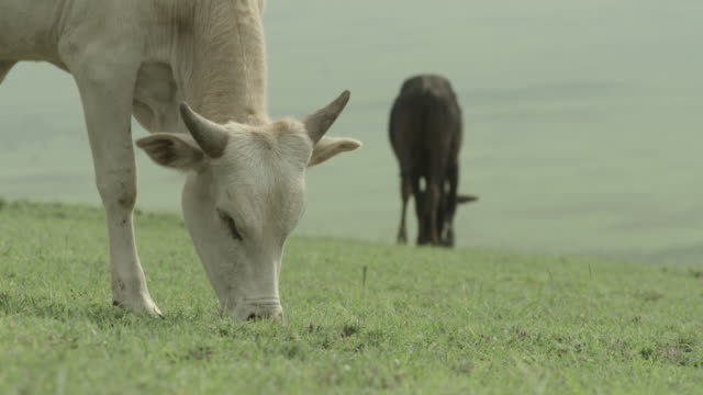 Close shot on a cow grazing on the plains of the Serengeti National Park.