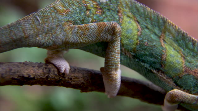 Close shot on the body of a chameleon.