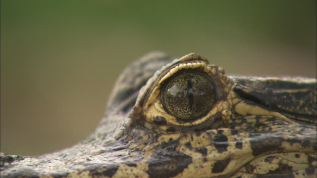 Close shot on the eye of a caiman.