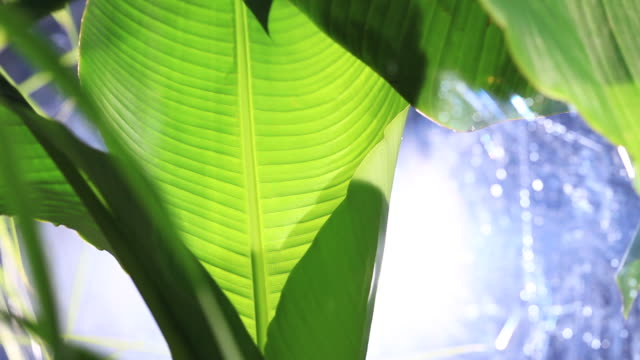 Close shot on the leaves of a banana tree in a greenhouse, backlit by a spotlight.