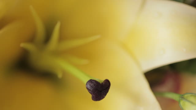 close shot on the stigma and stamen of a beautiful yellow flower. - filament stock videos & royalty-free footage