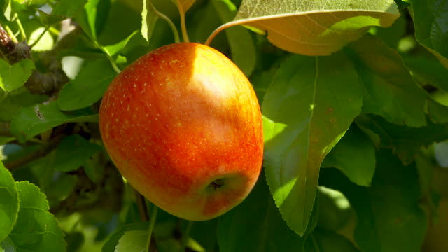 Close shot, red apple in the sunshine